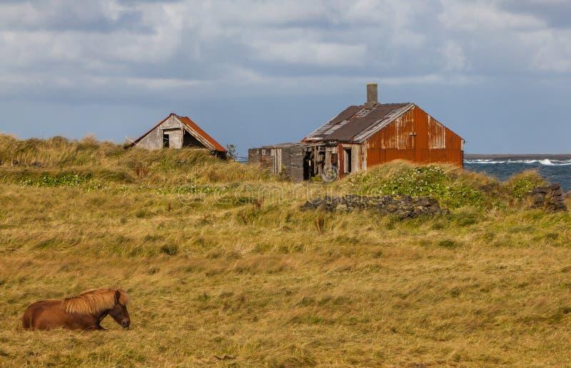 Isländisches Pferd mit altem verlassenem Bauernhof stockbilder