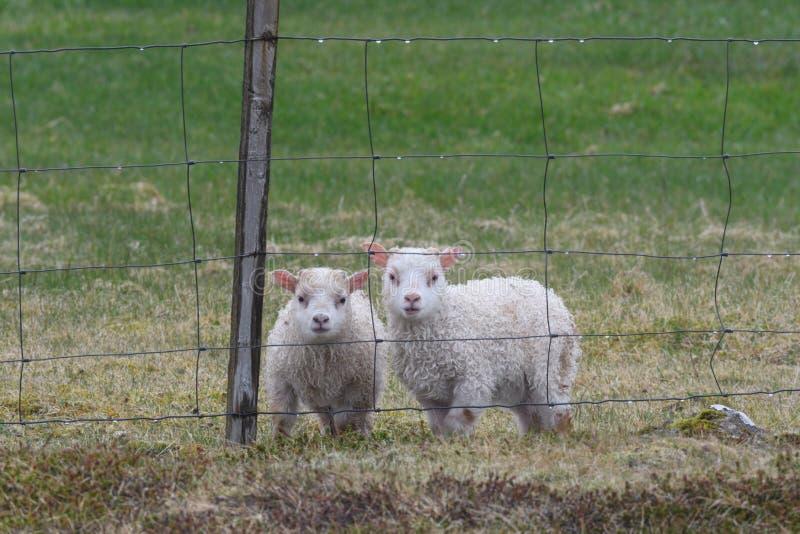 Isländisches Schafe Ãslenska-sauðkindin stockfoto