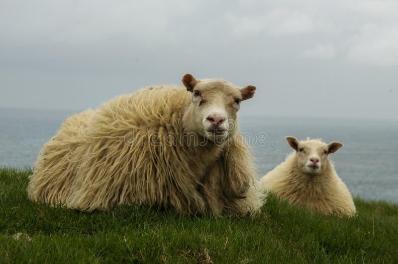 Isländisches Schaflügen lizenzfreie stockfotografie