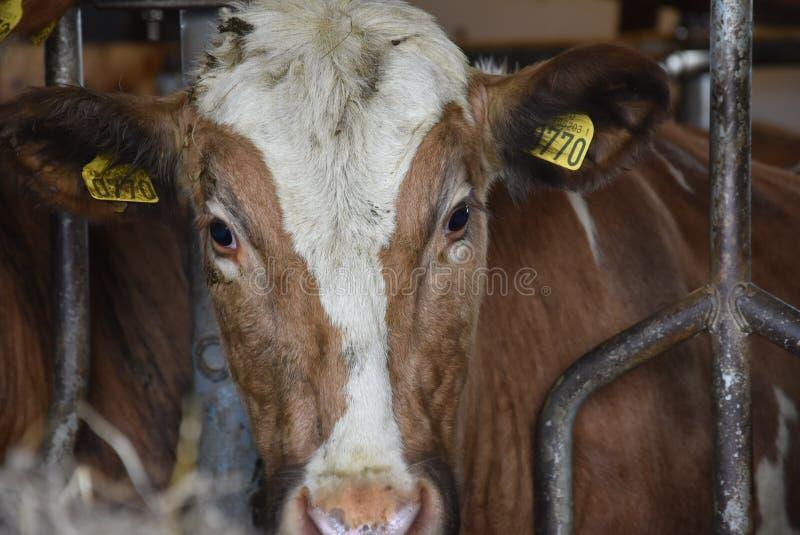 isländisches Vieh in einer Scheune lizenzfreies stockbild
