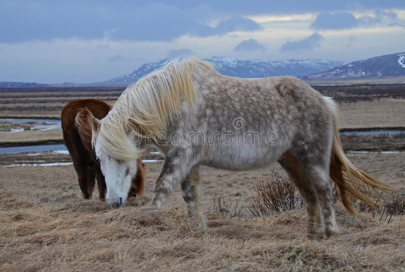 Isländisches vollblütiges Pferd in der Gebirgswinterlandschaft lizenzfreie stockfotos