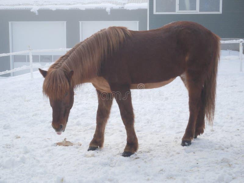 Isländsk brun hästshetland ponny arkivfoton