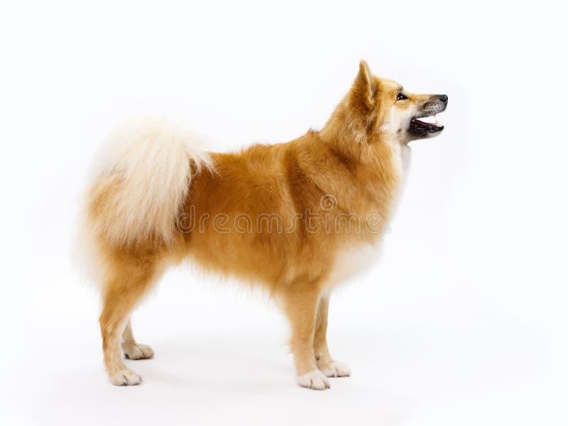 Isländsk fårhund arkivbilder