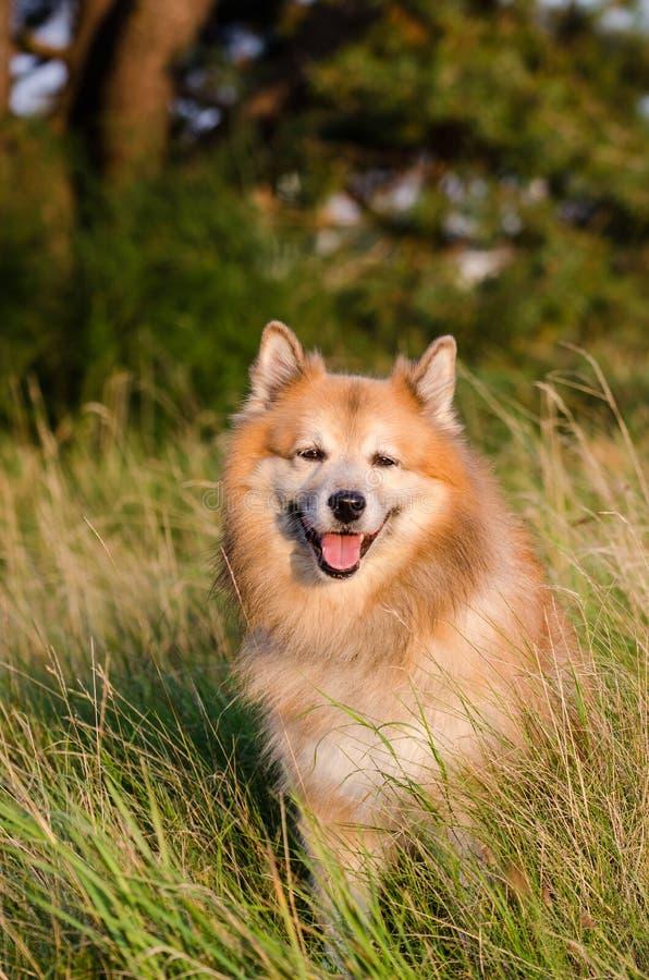 Isländsk fårhund royaltyfria foton