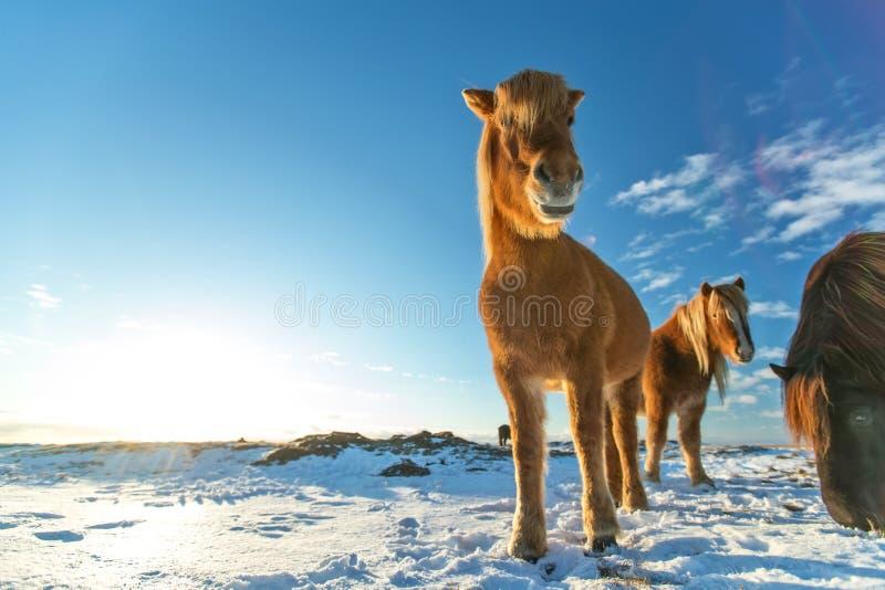 Isländsk flock av hästar i vinterlandskap royaltyfri bild