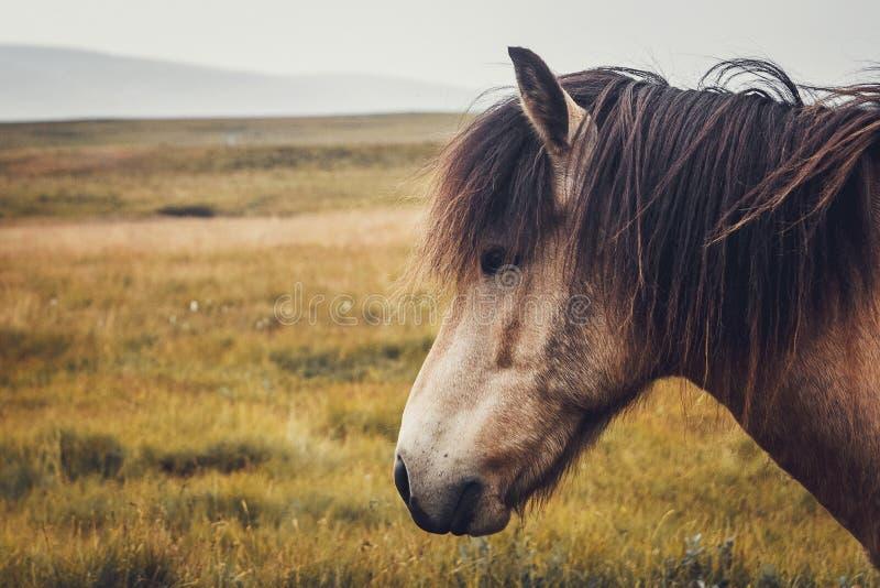 Isländsk häst i fältet av det sceniska naturlandskapet av Island Den isländska hästen är en avel av hästen lokalt royaltyfria bilder
