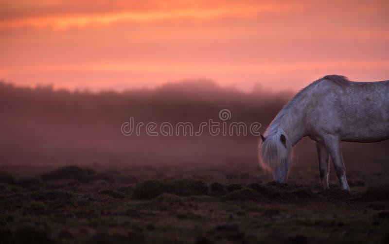 Isländsk häst i fältet under solnedgången, sceniskt naturlandskap av Island royaltyfria foton