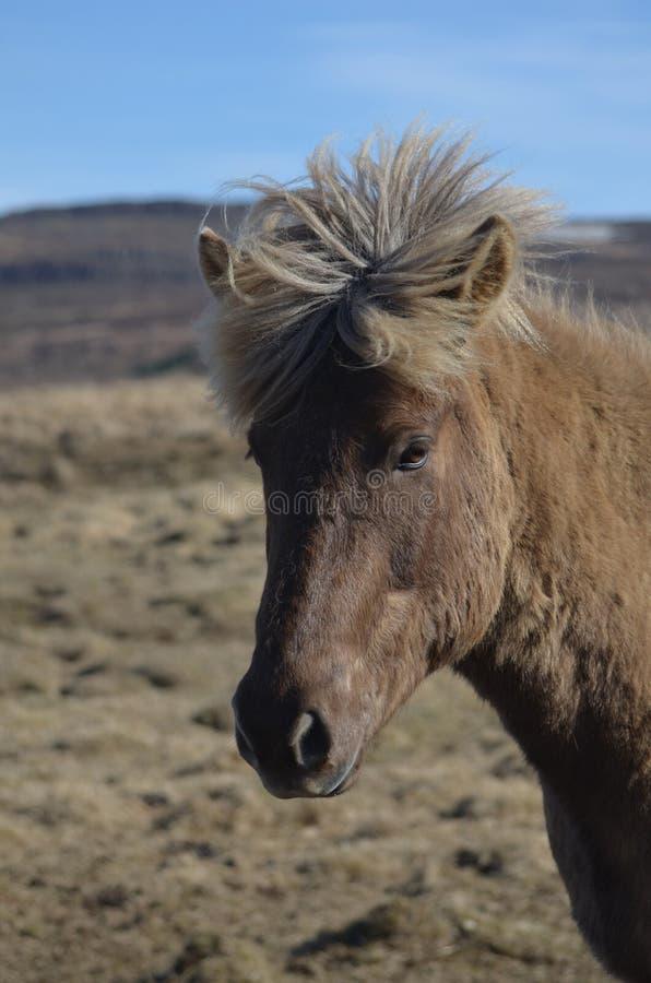 Isländsk häst med en Mohawk arkivbilder