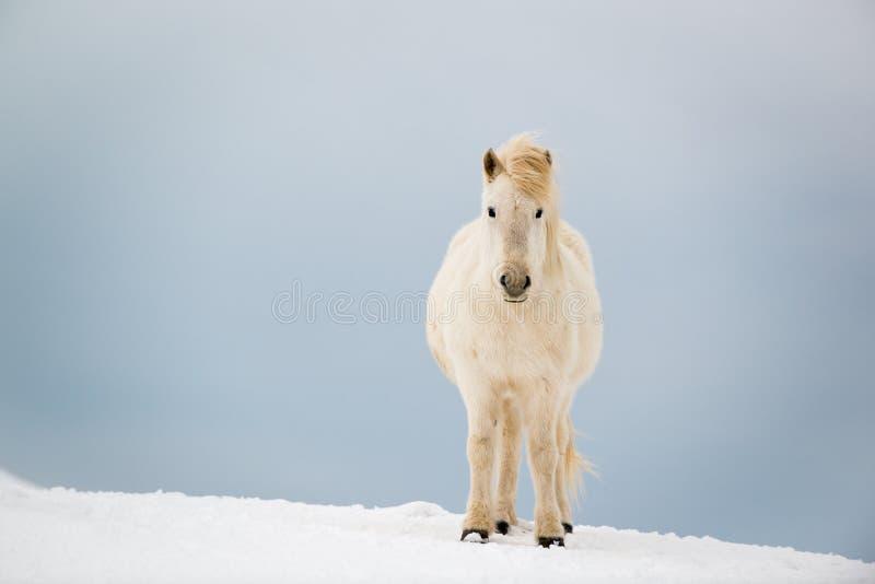 Isländsk häst på den insnöade vintern, Island royaltyfri foto
