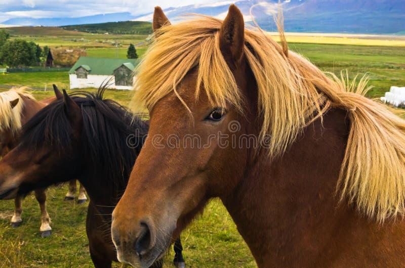 Isländsk häst på en äng nära den Skaga fjorden på den soliga sommardagen royaltyfri fotografi
