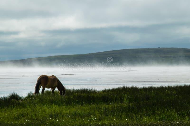 Isländsk häst på Misty Shore royaltyfri fotografi