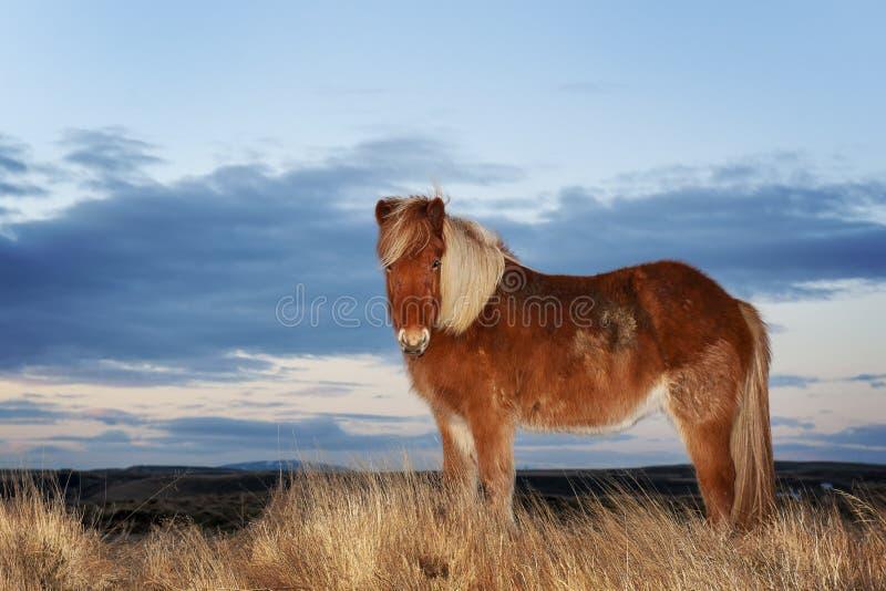 Isländsk häst under vintern som ser kameran arkivbild