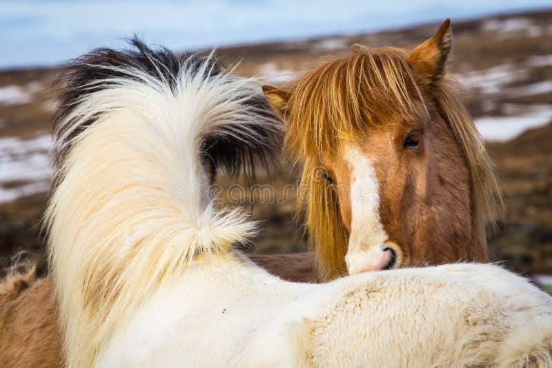 Isländsk hästbästa vän royaltyfria bilder