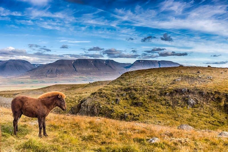 Isländsk ponny i bergen royaltyfri foto