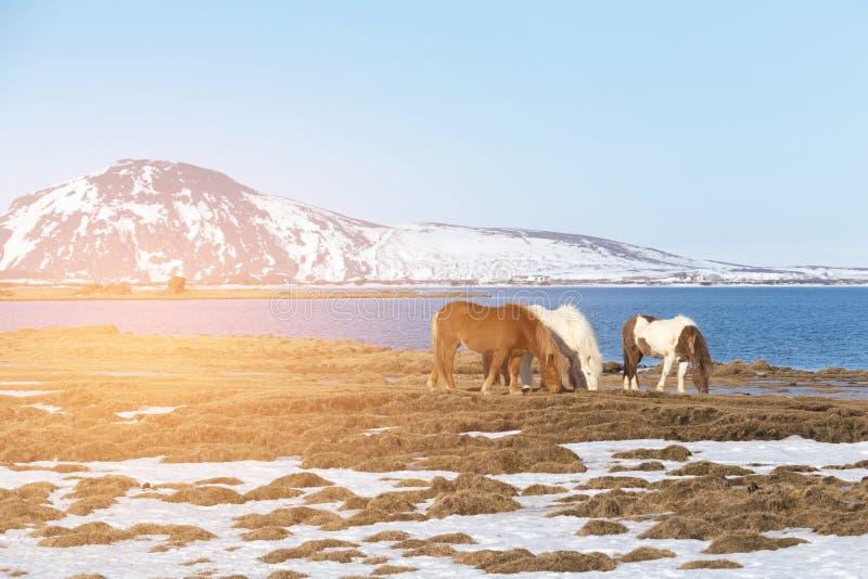 Isländska hästar över blå sjö- och bergbakgrund, Island arkivbilder