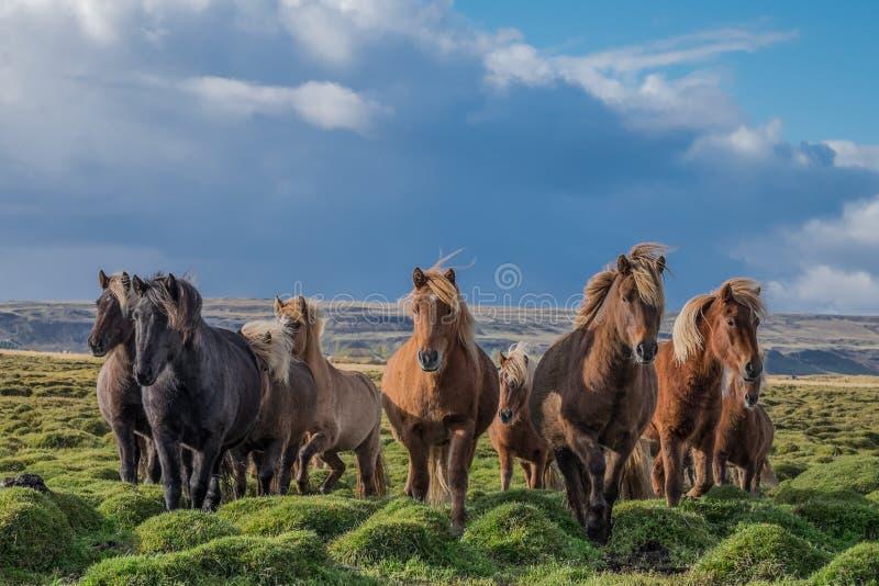 Isländska hästar betar in på en solig dag arkivbild