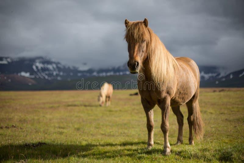 Isländska hästar i icelandic landskap royaltyfri foto