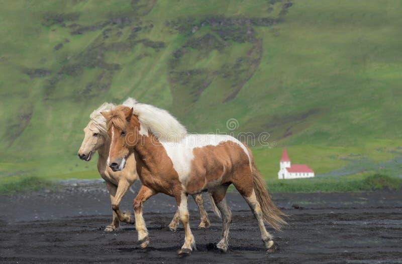Isländska hästar, Reynisfjara strand, Island arkivbilder