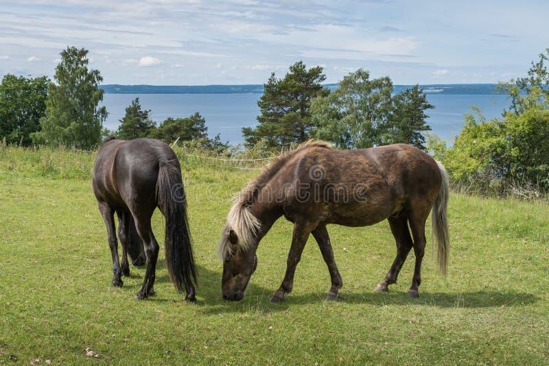 Isländska hästar som betar i ett grönt fält med sikt över vatten royaltyfri foto