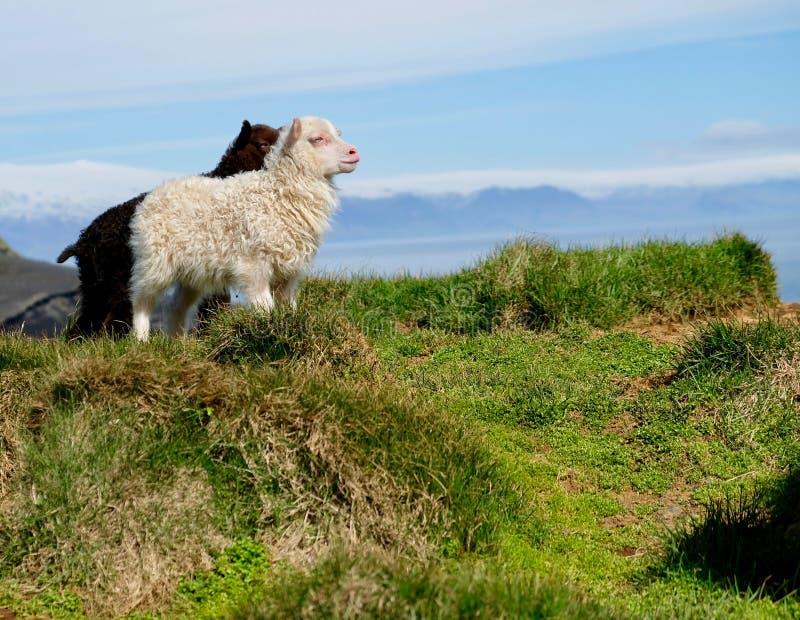 Isländska lamm royaltyfria foton