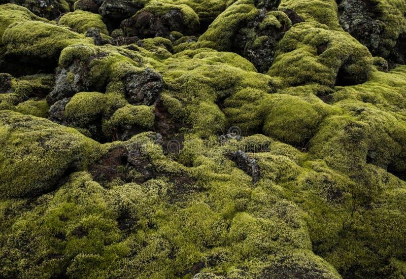 Isländska Lava Field Landscape med vulkaniskt vaggar dolt vid frodig grön mossa royaltyfria foton