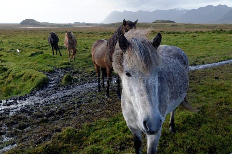 Isl?ndische Pferde lizenzfreie stockbilder
