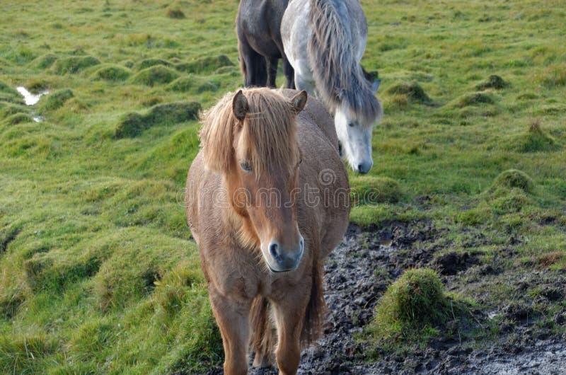 Isl?ndische Pferde stockbild