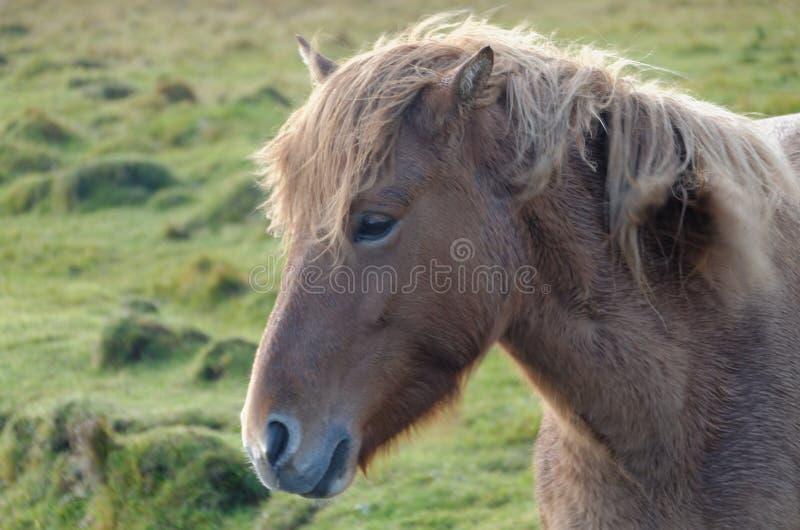 Isl?ndisches Pferd lizenzfreie stockfotografie