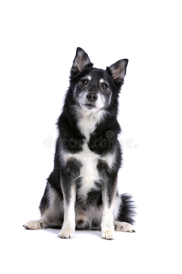 Isl?ndsk f?rhund eller isl?ndsk Spitz arkivbild