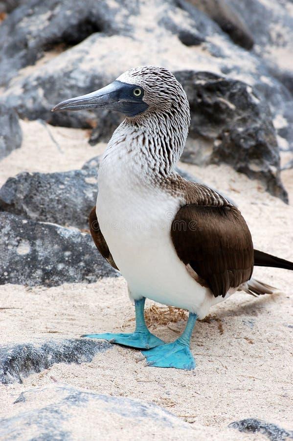 isla Azul-footed de Booby.Seymour, las Islas Gal3apagos. fotos de archivo libres de regalías