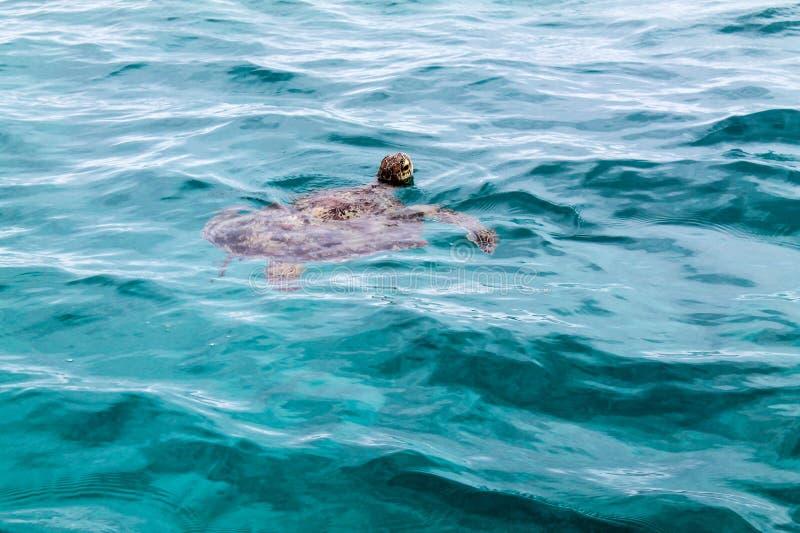 Isla de Amedee de la tortuga de mar, Nueva Caledonia fotos de archivo