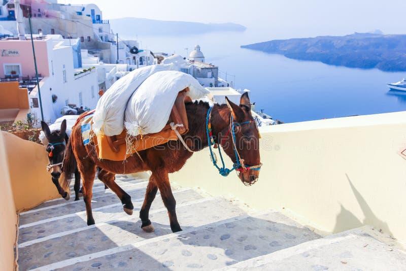 Isla de Grecia Santorini en los burros de Cícladas imagenes de archivo