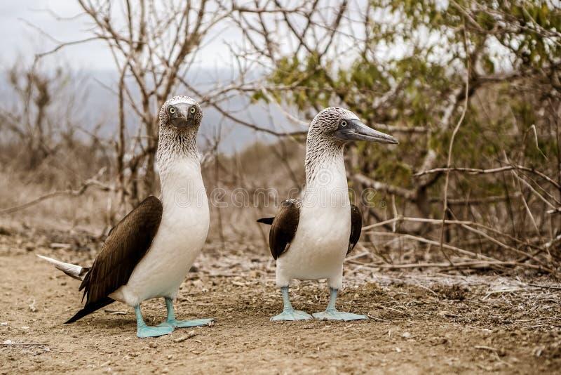 Isla de la Plata, Ecuador. Blue Footed Boobies at Isla de la Plata, Ecuador stock image