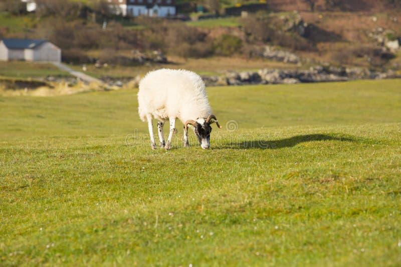 Isla de las ovejas Mull Escocia Reino Unido con la capa y los cuernos lanosos imágenes de archivo libres de regalías