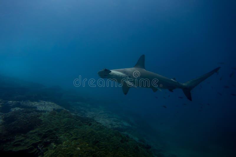 Isla de malpelo del tiburón de Hammerhead fotografía de archivo libre de regalías