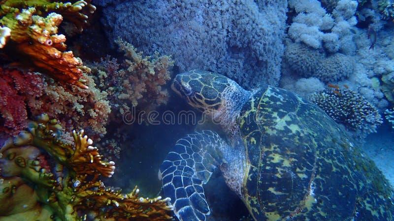 Isla de Tiran del Mar Rojo de Egipto fotos de archivo