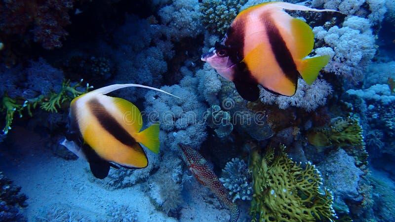Isla de Tiran del Mar Rojo de Egipto imágenes de archivo libres de regalías