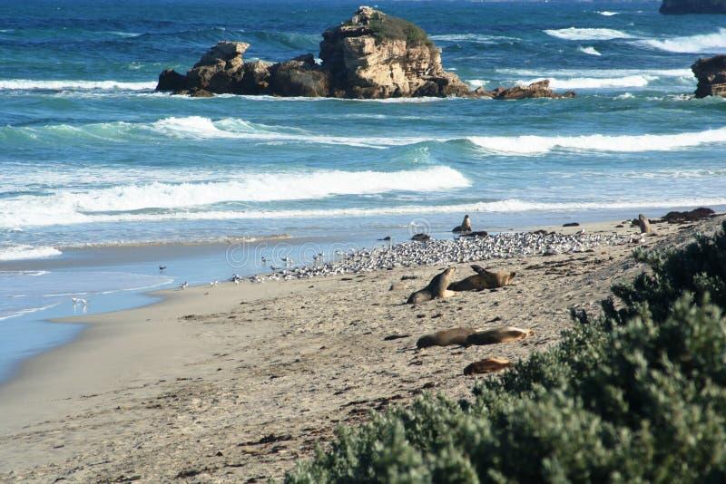 Isla del canguro foto de archivo