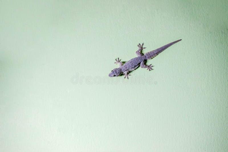 Isla del lagarto en la pared verde imagen de archivo