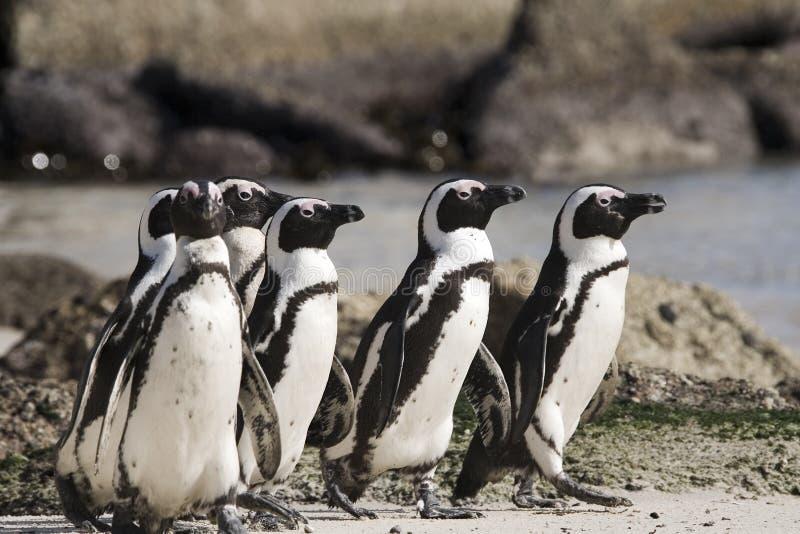Isla del pingüino de Cape Town en Suráfrica foto de archivo