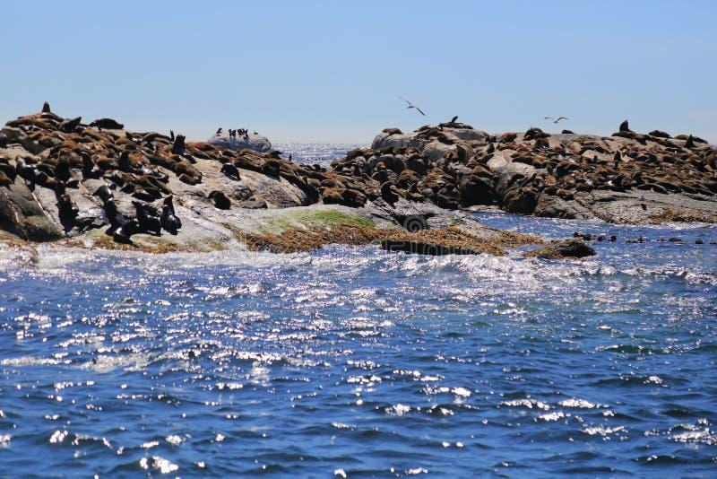 Isla del sello en Cape Town fotos de archivo