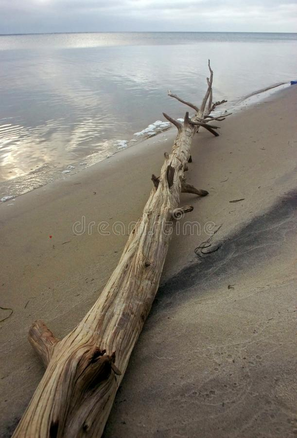 Island Beach State Park. Miles of sand dunes. Tree on the beach, brought by storm. USA stock photos