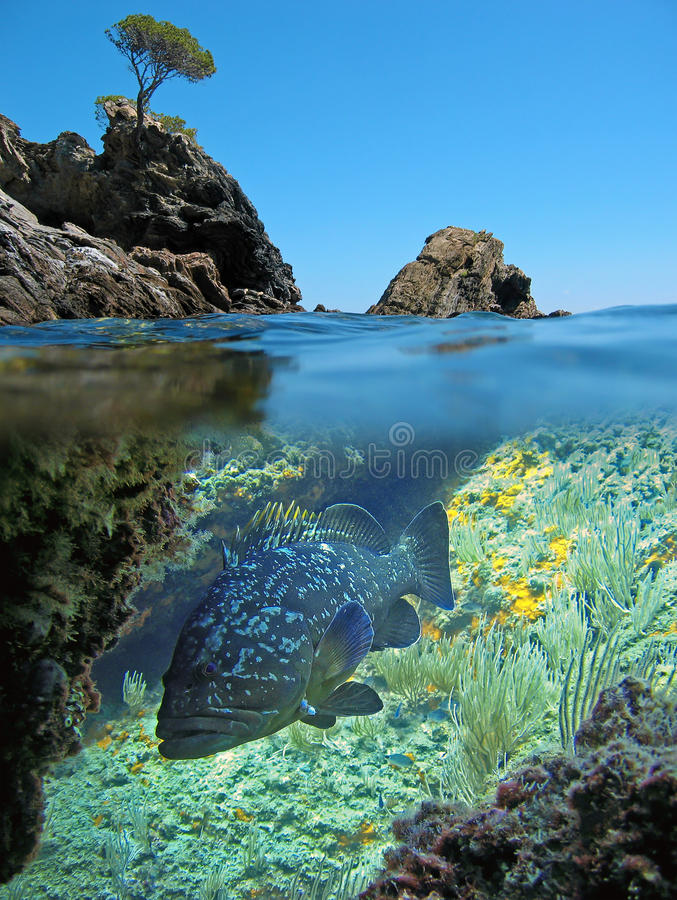 Island and dusky grouper stock image