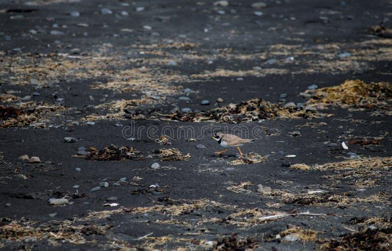 Island fågel på den svarta sandstranden royaltyfria bilder