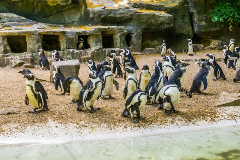 Island full of african penguins, black footed penguin family, zoo animals, Endangered animal specie. A Island full of african penguins, black footed penguin stock photography