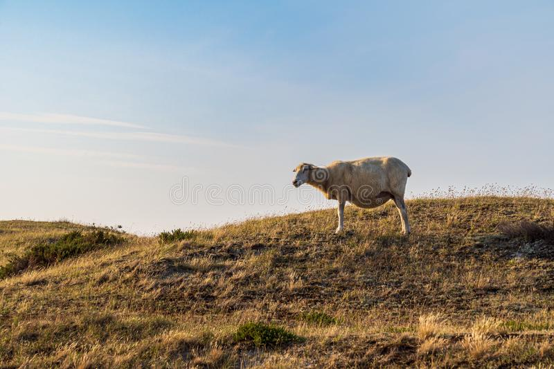 Sheep in warm evening light against blue sky. On the island Sylt, Germany - Sheep in warm evening light against blue sky royalty free stock images