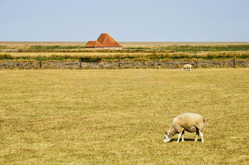Dutch Texel Sheep In A Field Editorial Photography - Image