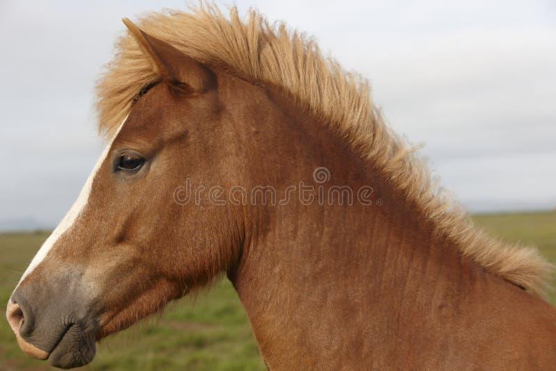 Islandia. Cabeza de caballo joven islandesa de Brown. imágenes de archivo libres de regalías