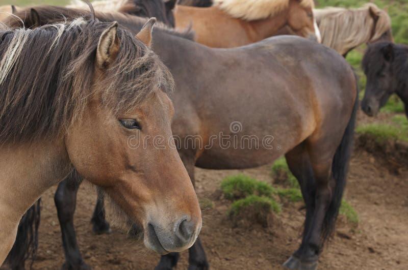 islandia Grupo de caballos islandeses foto de archivo