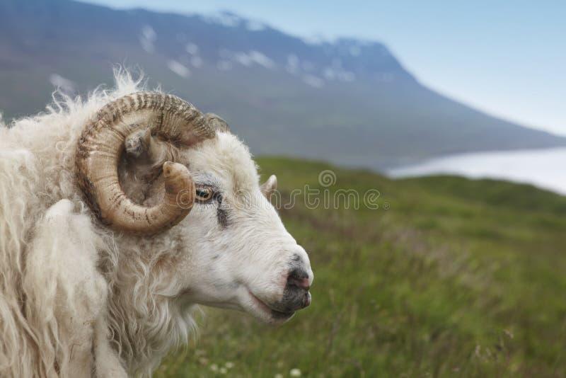 Islandia. Seydisfjordur. Cordero y fiord islandeses. imagen de archivo libre de regalías